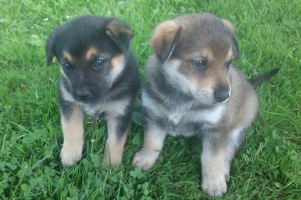 Dovanojami aštuoni šuniukai