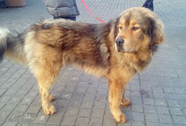 Tibeto Mastifas