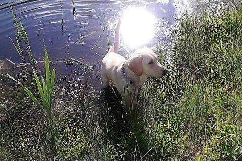 Labradoras Rango